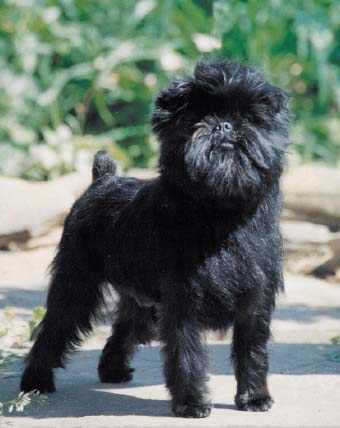 Affenpinscher Breed Information: History, Health, Pictures, and more