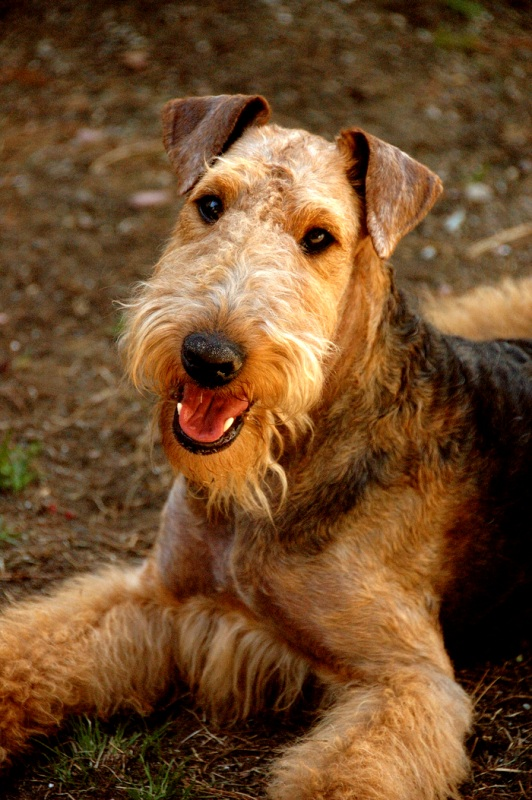 Airedale Terrier Breed Information: History, Health, Pictures, and more