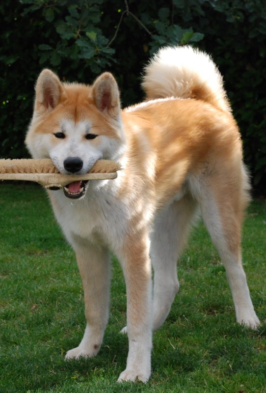 Akita Inu Breed Information: History, Health, Pictures ...
