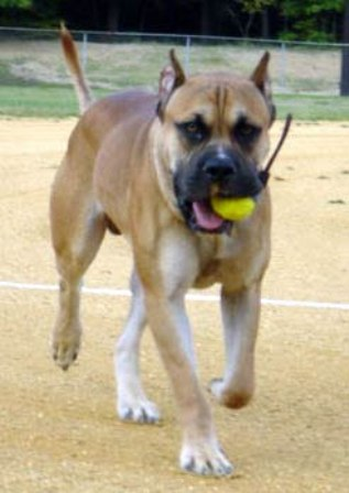 Alano Espanol Breed Information: History, Health, Pictures ...