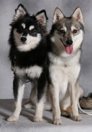 Alaskan Klee Kai Breed Information: History, Health, Pictures, and more