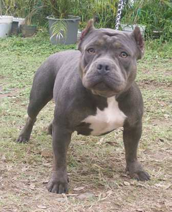 American Bully Breed Information