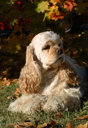 American Cocker Spaniel Breed Information History Health