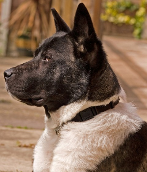American Akita Breed Information: History, Health ...