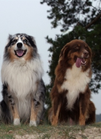 Australian Shepherd Breed Information History Health