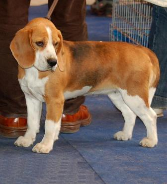 Beagle Breed Information: History, Health, Pictures, and more
