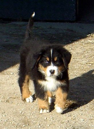 Bernese Mountain Dog Breed Information History Health