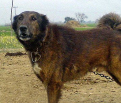 Big Breed Dogs In India