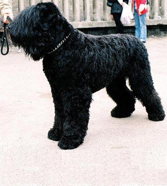 Black Russian Terrier Breed Information History Health Pictures