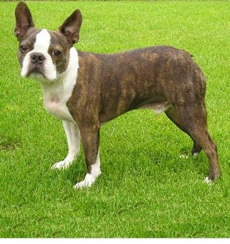 Boston Terrier Breed Information History Health Pictures And More