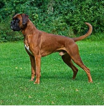 Do Boxers Make Good Hunting Dogs