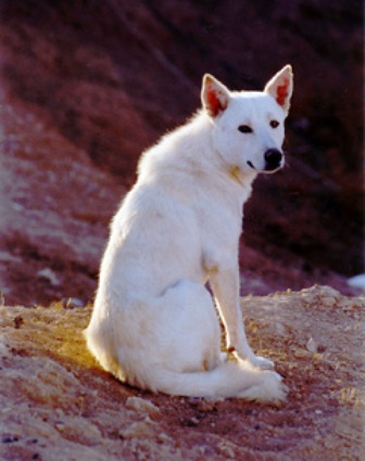 Canaan Dog Border Collie Mix