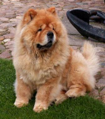 Black Chow Chow Lion Cut View the full image chow chow