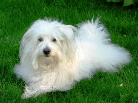Coton De Tulear Breed Information History Health Pictures And More