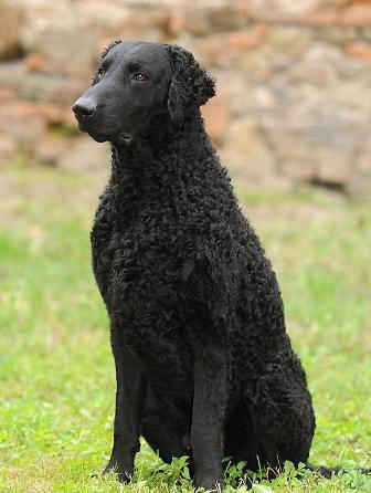 Pictures Of Curly Haired Dogs
