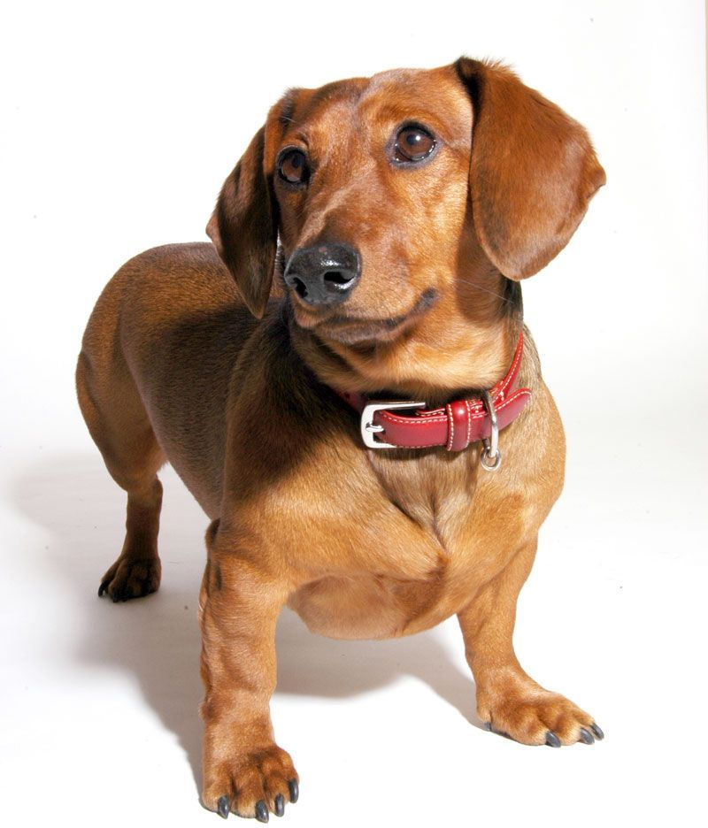 Dachshund Breed Information: History, Health, Pictures