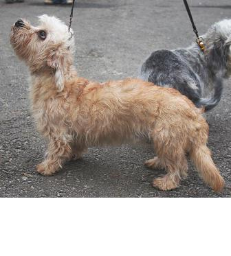 dandie dinmont terrier breed information history health pictures