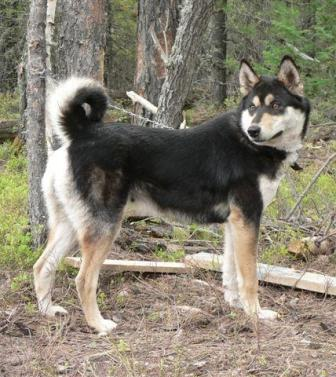East Siberian Laika Breed Information History Health