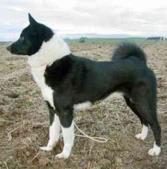 East Siberian Laika Breed Information: History, Health ...