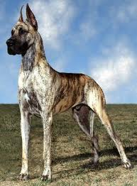 Best Canned Dog Food >> Great Dane Breed Information: History, Health, Pictures, and more