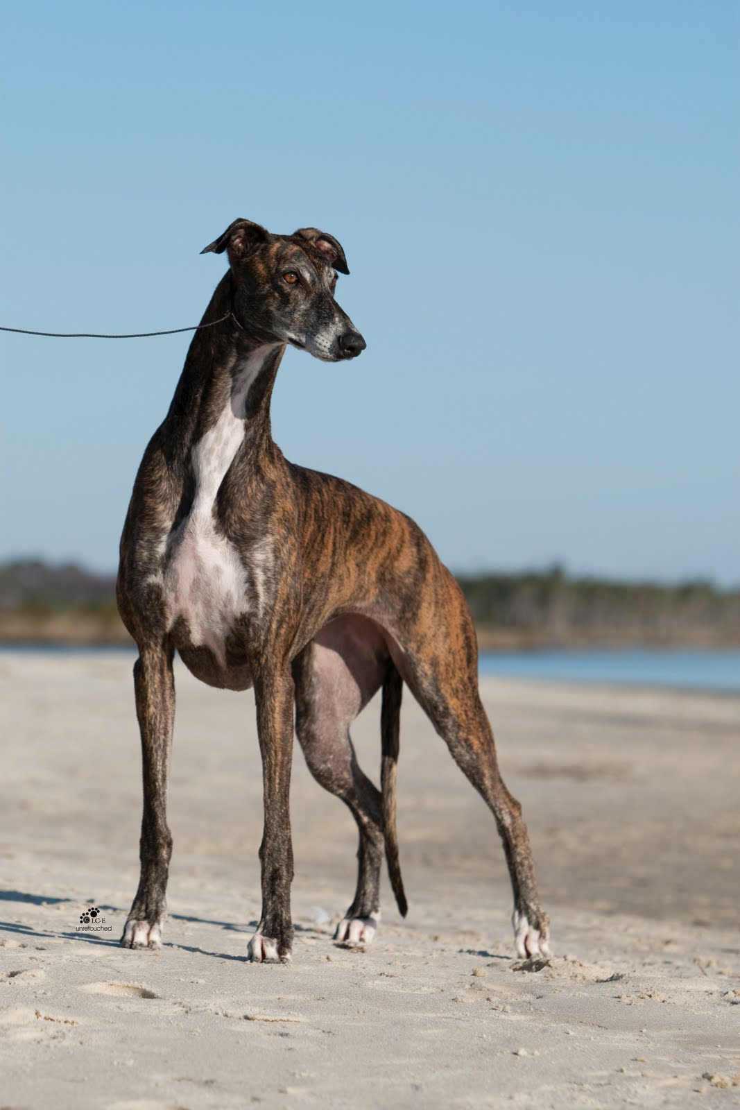 Greyhound Breed Information: History, Health, Pictures, and more
