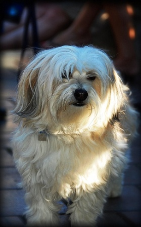 Havanese Breed Information: History, Health, Pictures, and ...