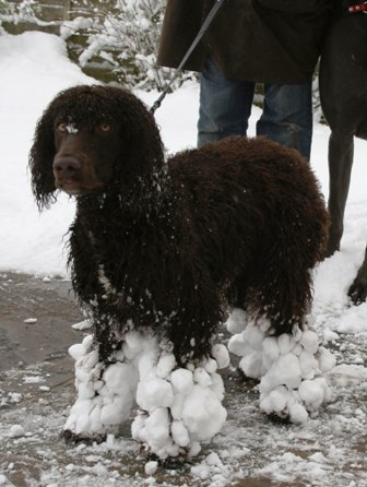 Irish Water Spaniel Breed Information History, Health