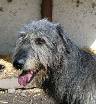 Irish Wolfhound Breed Information: History, Health, Pictures