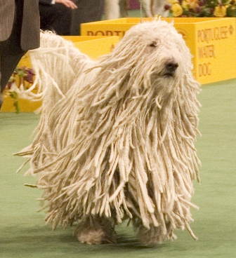 Komondor Breed Information: History, Health, Pictures, and more