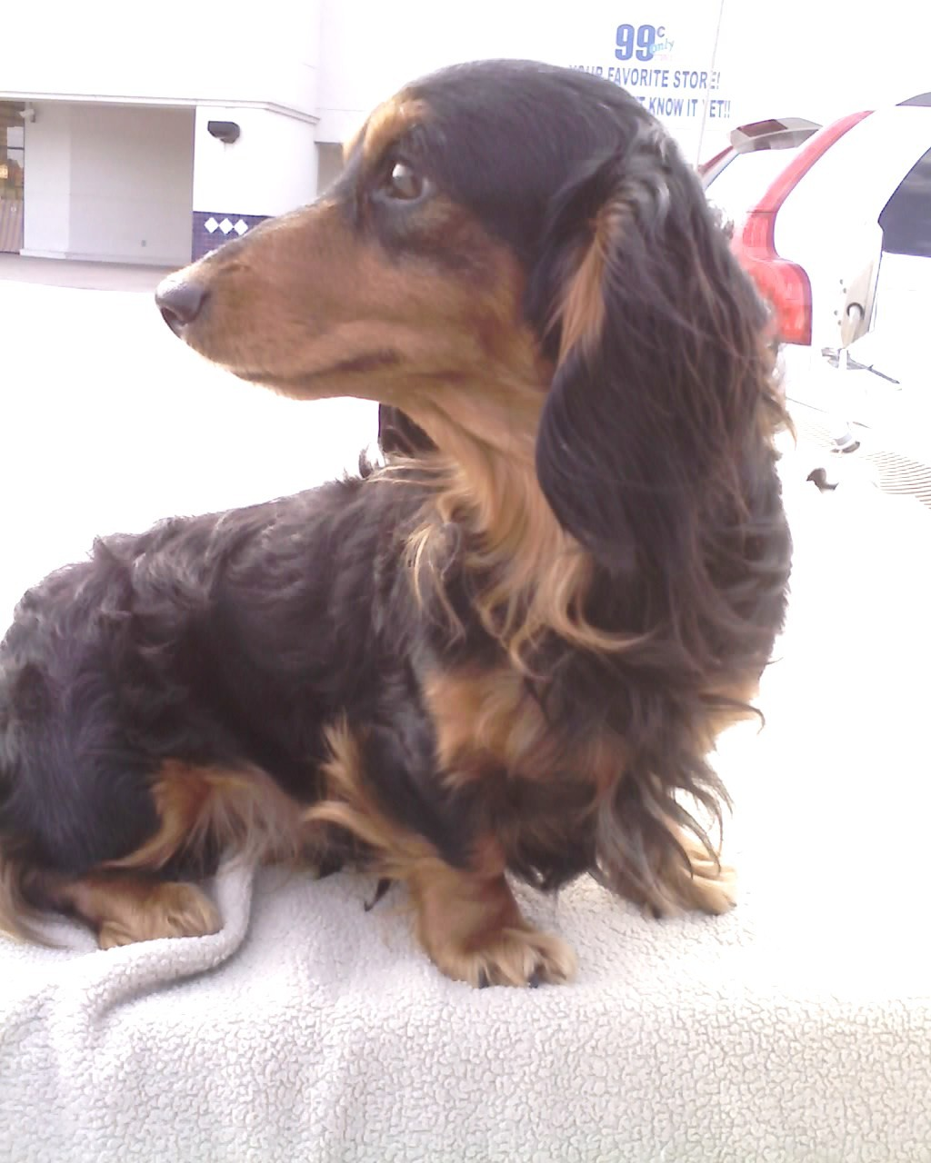 Miniature Dachshund Long Haired Breed Information History