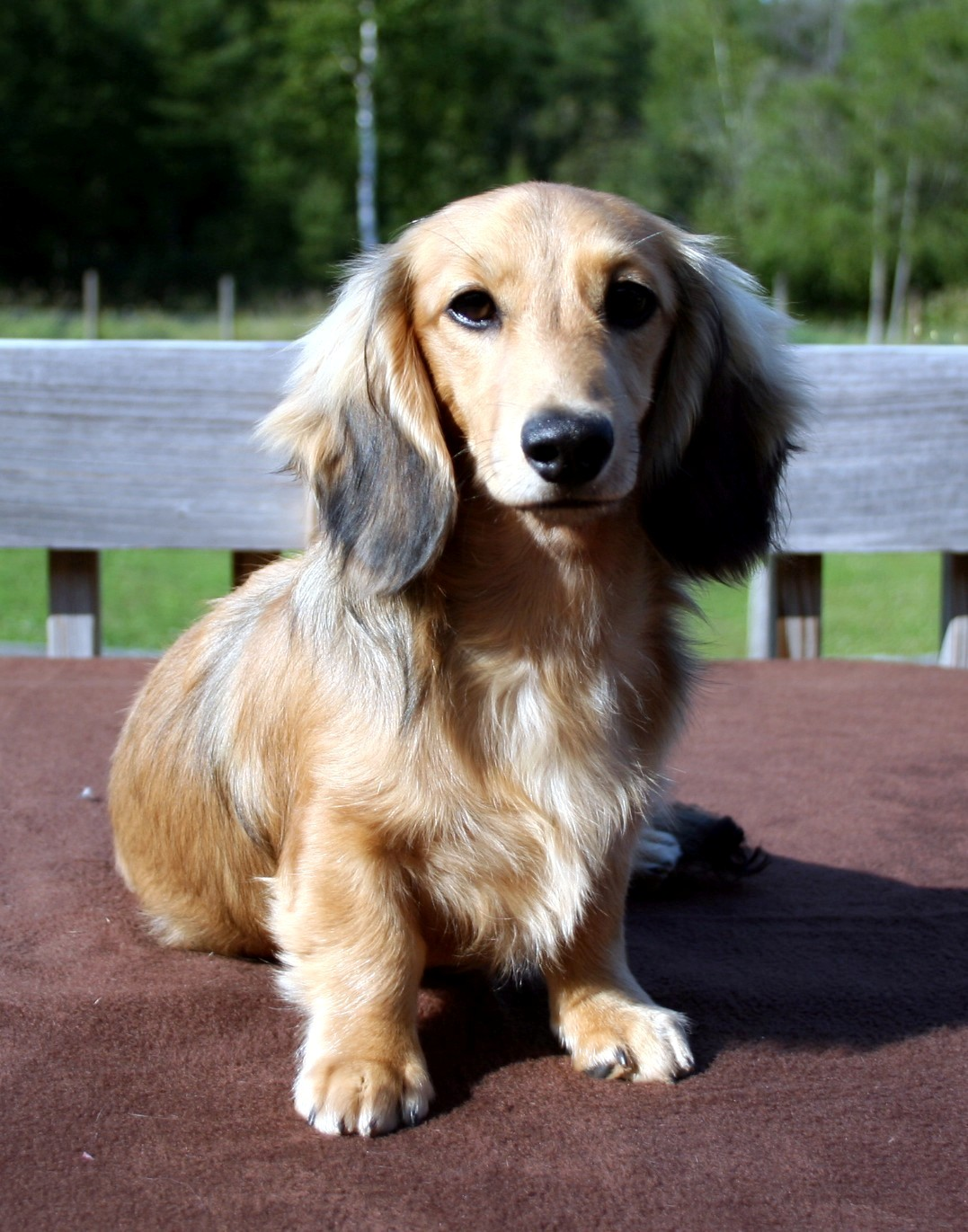 View The Full Image Miniature Dachshund Longhair Jpg