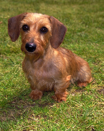 Miniature wire haired dachshund characteristics