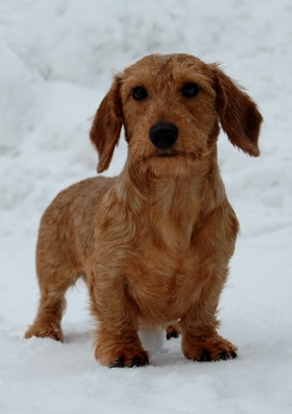 Miniature Dachshund Wire Haired Breed Information History Health