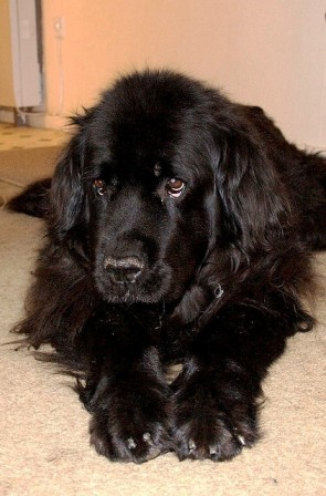 Newfoundland Dog Breed Information History Health