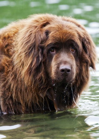 Newfoundland Dog Breed Information History Health Pictures And More