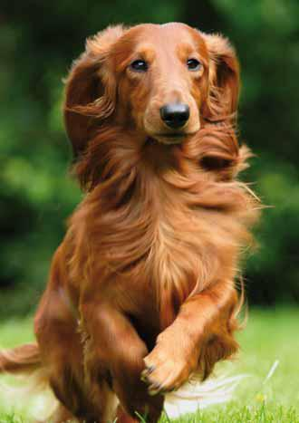 View The Full Image Rabbit Dachshund Longhaired 1 Jpg