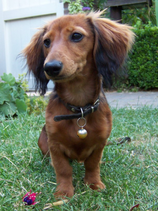 rabbit dachshund long haired breed information history health