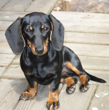 Rabbit Dachshund Smooth Haired Breed Information History