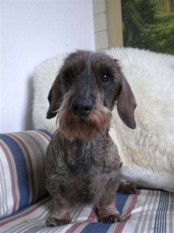 Rabbit Dachshund Wire Haired Breed Information History