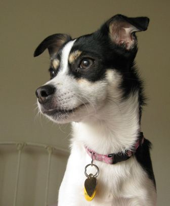 Rat Terrier Breed Information History