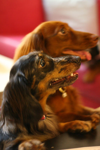 Standard Dachshund Long-haired Breed Information: History