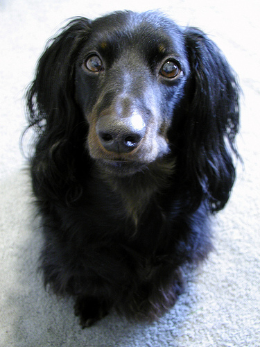 Standard Dachshund Long Haired Breed Information History Health