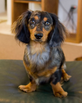Standard Dachshund Long Haired Breed Information History