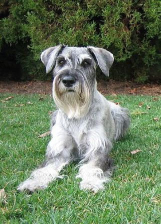 Standard Schnauzer Breed Information: History, Health