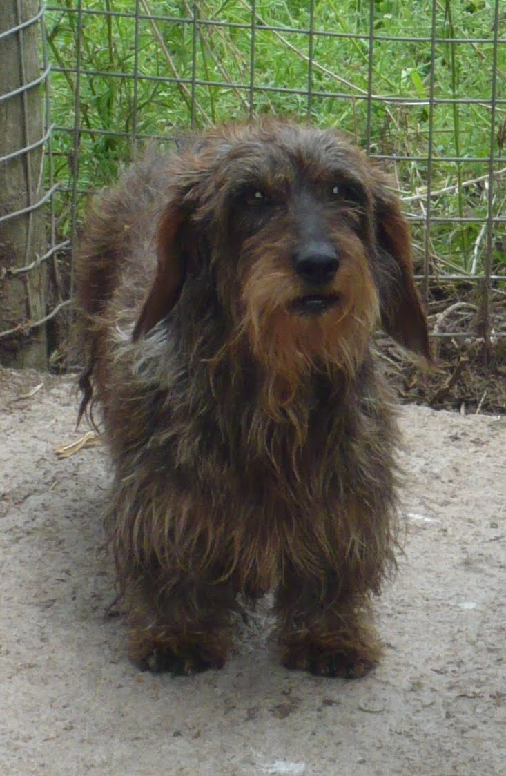 Standard Dachshund Wire-haired Breed Information: History, Health ...