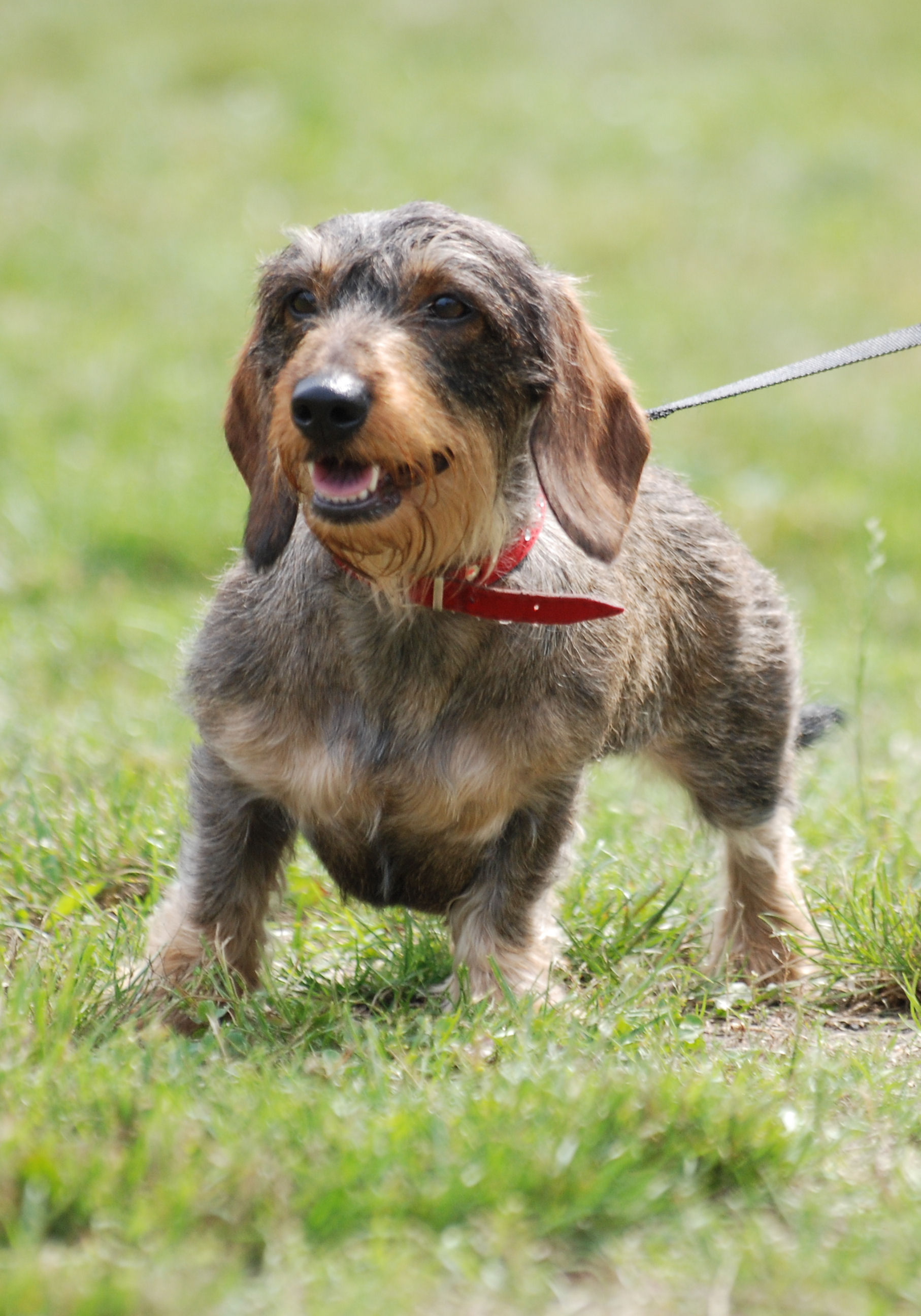 Standard Dachshund Wire-haired image 2