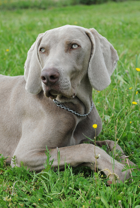 Weimaraner Breed Information: History, Health, Pictures ...