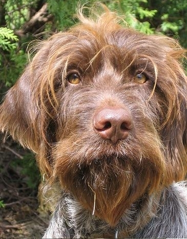 Wirehaired Pointing Griffin (7).jpg