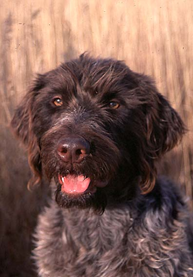 Wirehaired Pointing Griffin.jpg