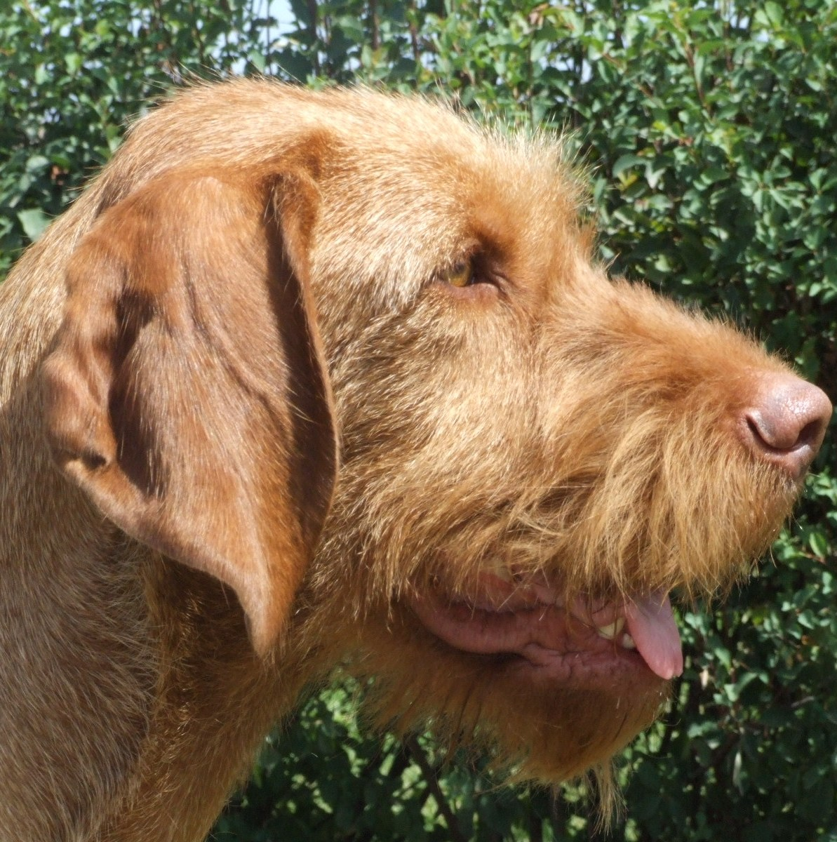 Vizsla (Wirehaired) image 3